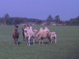 öland camels